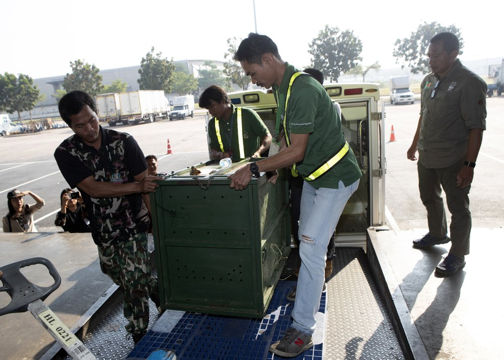 Thai officers move the cage of Cola, 10-year-old female orangutan to be sent back to Indonesia at a Suvarnabhumi Airport in Bangkok, Thailand, Friday, Dec. 20, 2019. Image: AP Photo/Sakchai Lalit