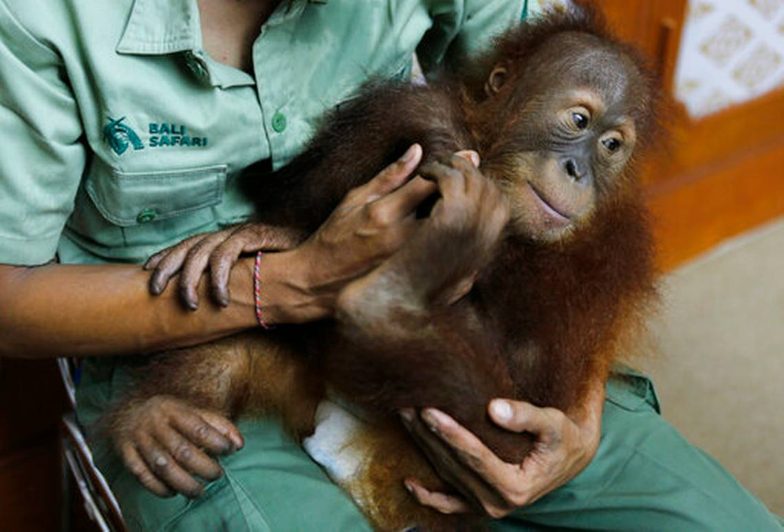 Bon Bon, a three-year-old male orangutan sits on his keeper's lap during a press conference in Bali, Indonesia, Monday, Dec. 16, 2019. Image: AP PHOTO/FIRDIA LISNAWATI