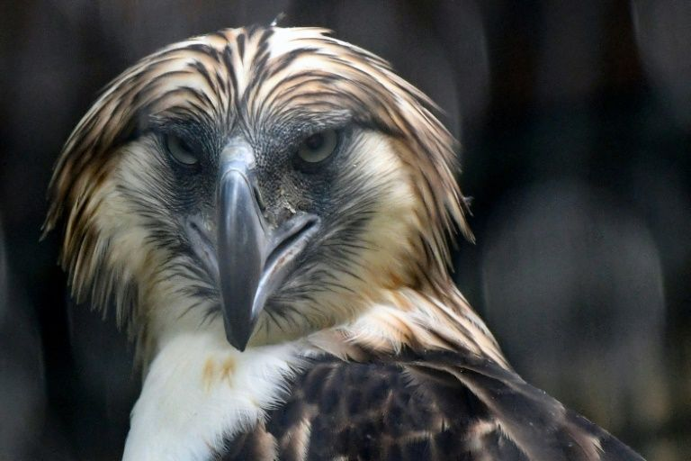 A male Philippine eagle named Geothermica is one of a pair being cared for in Singapore, part of breeding programme to reverse the dwindling numbers of the feathered giants. Image: AFP