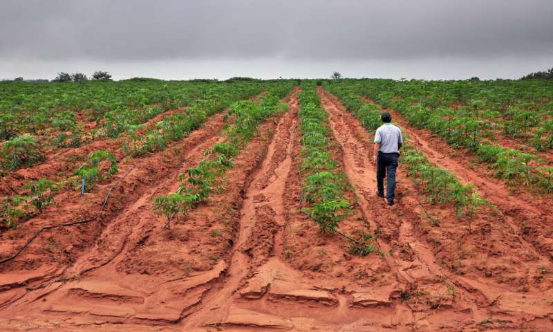 Rows of young cassava plants in a field in Thailand. Image: Neil Palmer / International Center for Tropical Agriculture