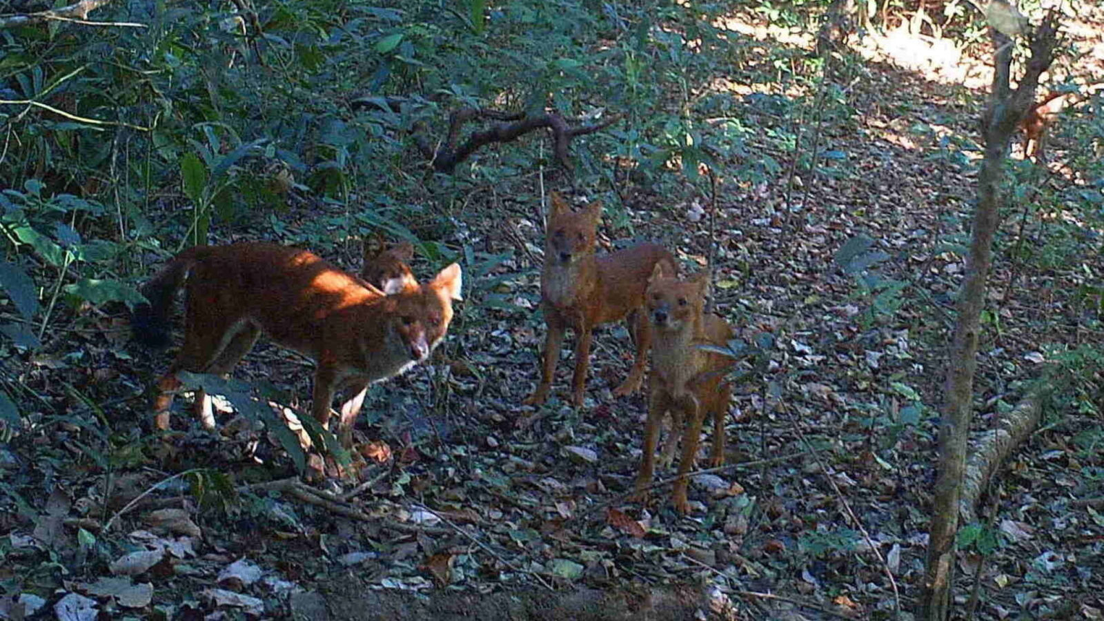 A group of dholes, Asiatic wild dogs  (KWCI)