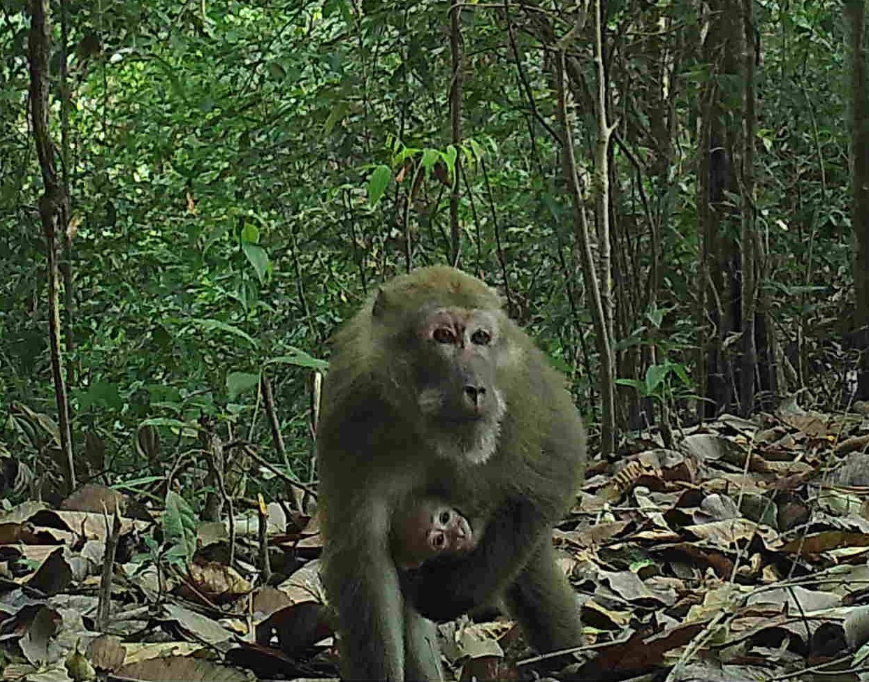 An assam macaques carries its baby  (KWCI)