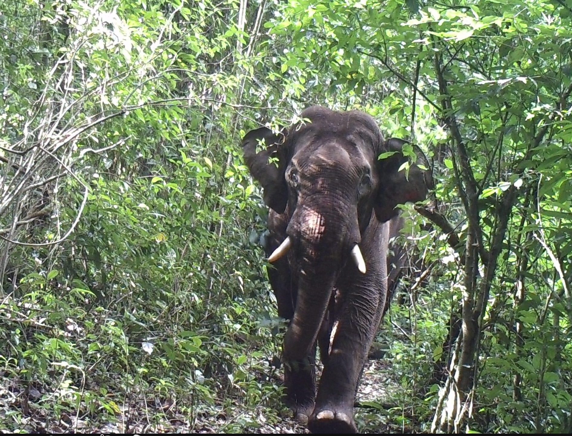 An elephant captured moving through the forest  (KWCI)