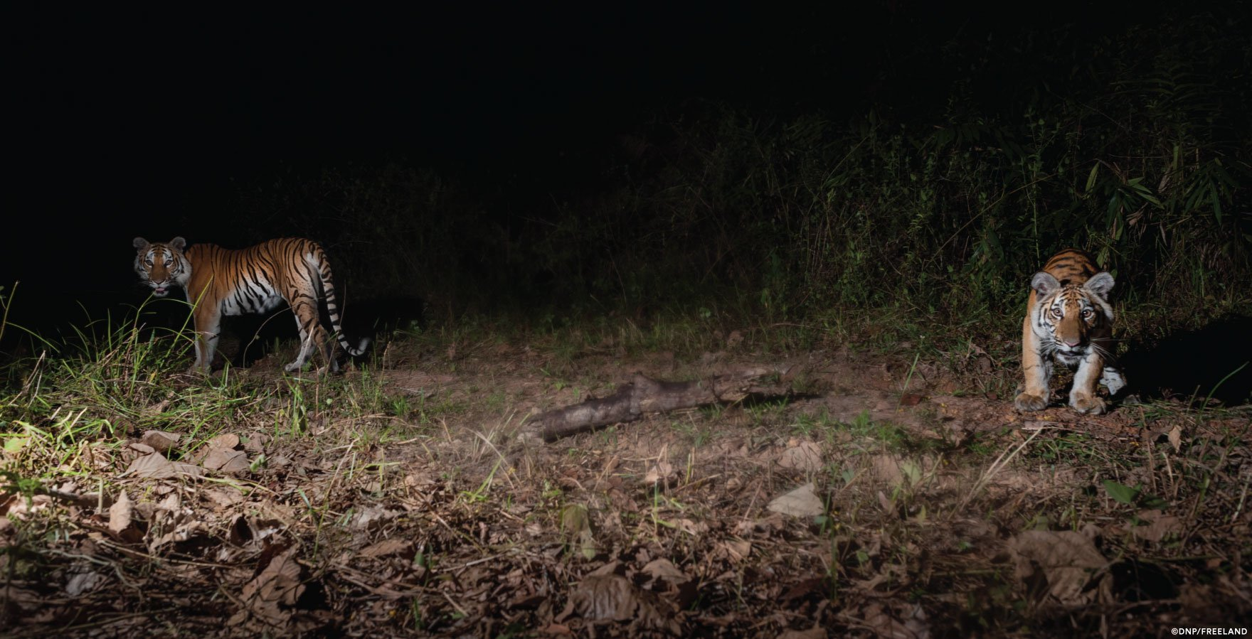A mother tiger and her cub look curiously at a camera trap set along a forest trail in Eastern Thailand. (bussinesinsider.com)