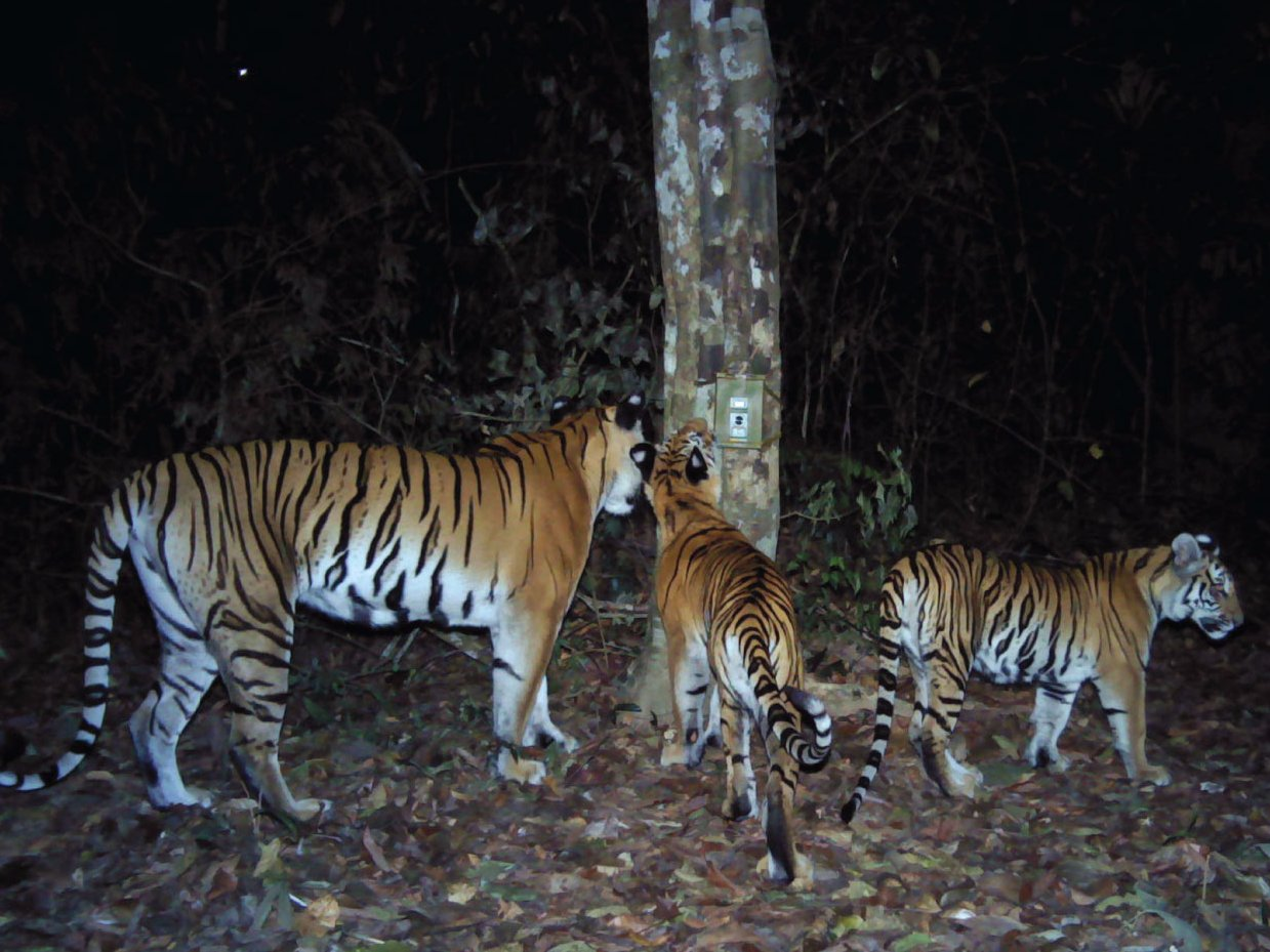 A trio of tigers, a mother and her two cubs, inspect a PantheraCam. This camera was one of over 156 camera traps placed by Thailand's Department of National Parks (DNP), Freeland, and Panthera to survey a critically important population in Eastern Thailand in 2016. (bussinesinsider.com)